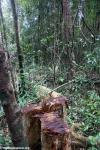 Illegal rosewood logging in Masoala National Park. Photo by Rhett A. Butler